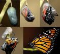 Monarch Metamorphosis